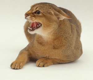 Image of an aggressive cat snarling at camera