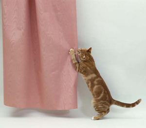 Image of a cat scratching curtains