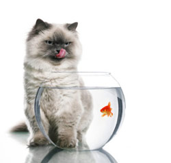 Cat looks at fish in a bowl